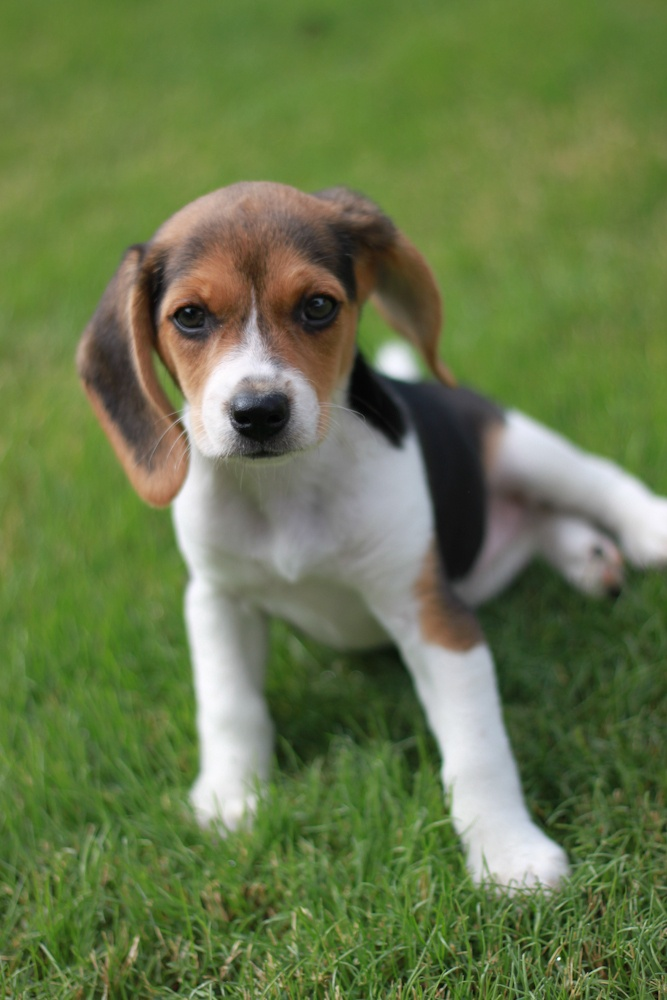 Small Dog Breeds That Make Good Watchdogs