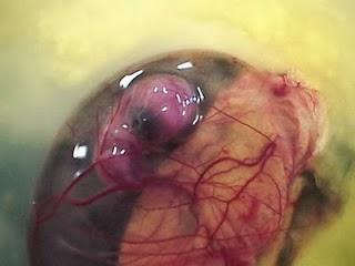 Embrio semakin tampak walau kecil