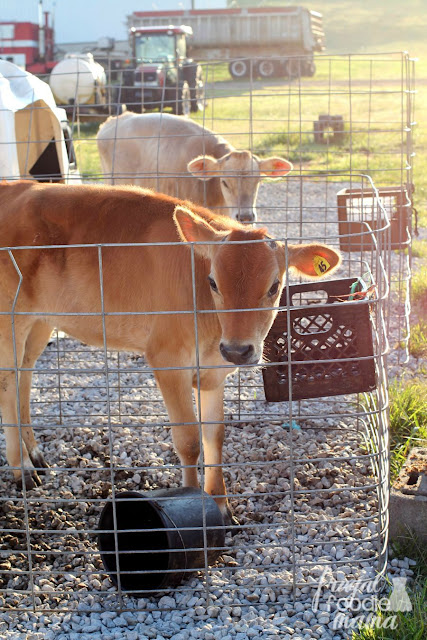 Baby calves at Richman Farms, a small, family owned dairy farm in Lodi, Ohio.