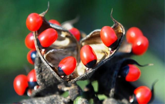 Tanaman Paling Mematikan - The Rosary Pea