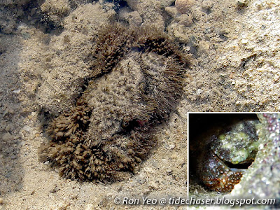 Hairy Crabs (Family Pilumnidae)