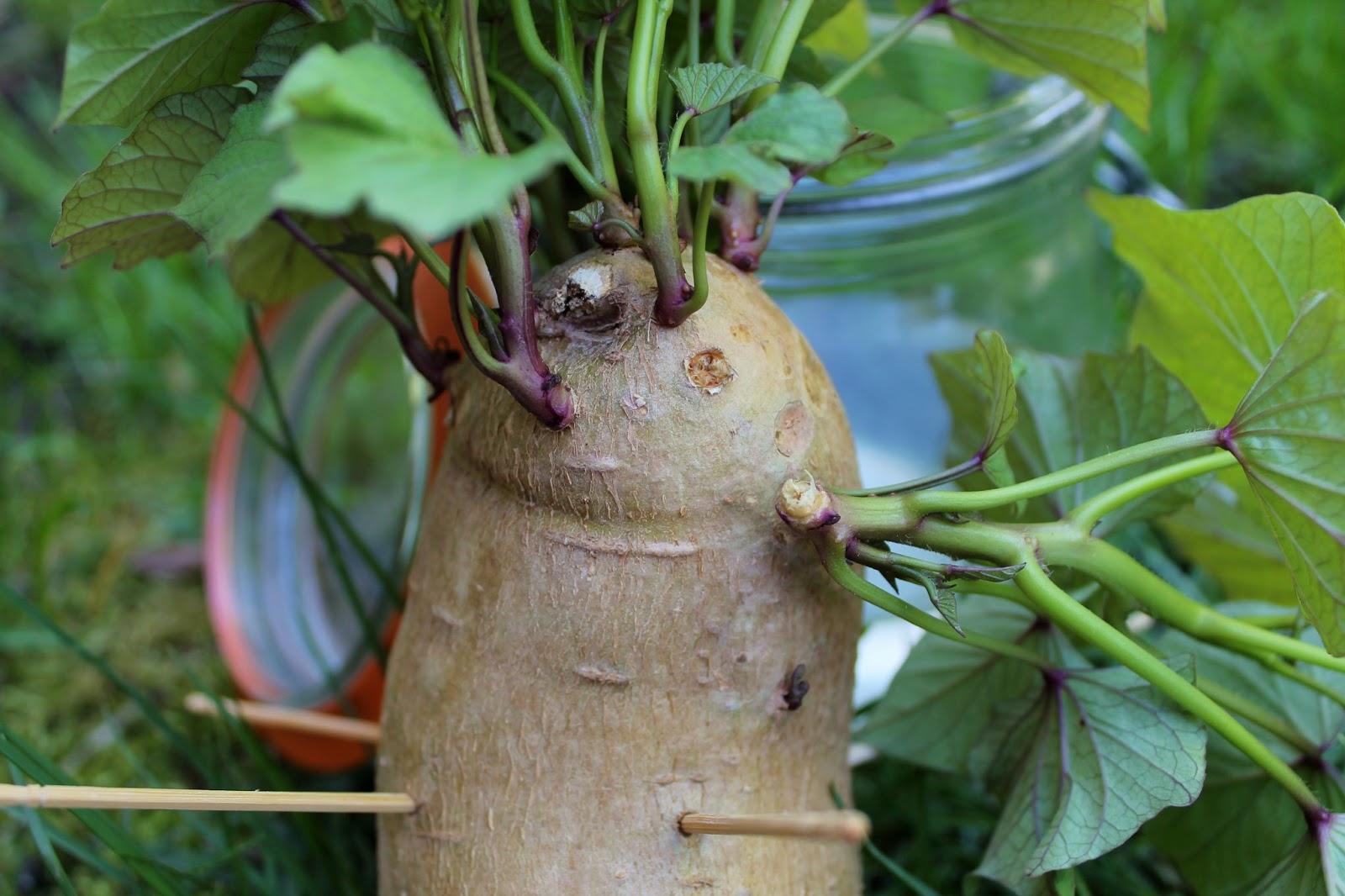 how to grow sweet potatoes in texas