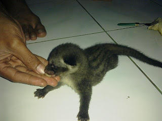 Cara Merawat Bayi Musang,Cara Merawat Musang,cara memelihara musang,cara memelihara bayi musang,musang,bayi musang,cara memberi makan bayi musang,makanan musang,makanan bayi musang