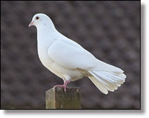 Picture of dove