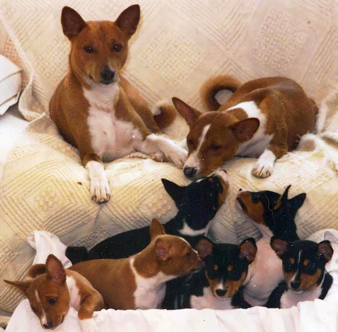 Basenji Dewasa dan Puppy.