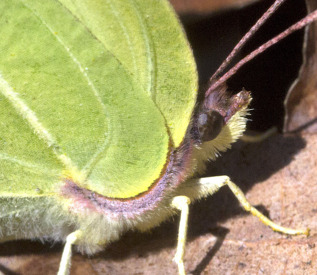 Brimstone, Gonepteryx rhamni.  Butterfly.  Hayes Common, 26 March 2012.