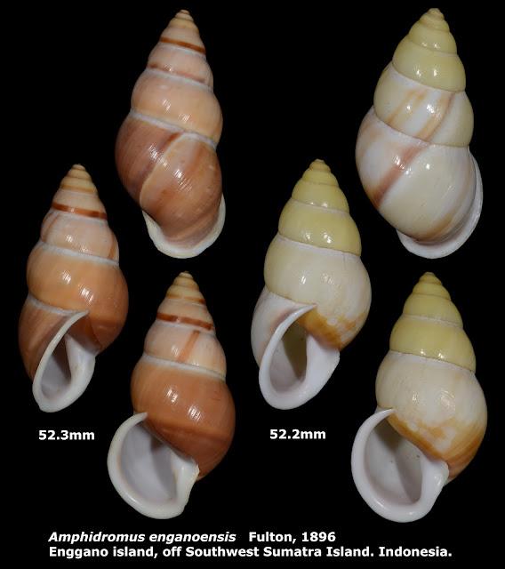 Amphidromus enganoensis 52.2 & 52.3mm