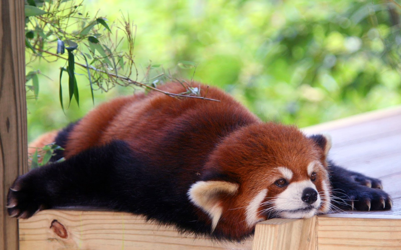 40 Adorable red panda pictures (40 pics), lazy red panda
