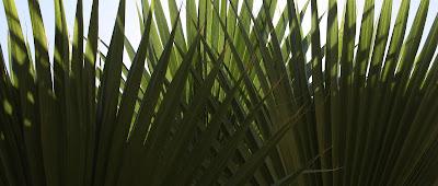 "op art palm ""Arch"", Photograph, Sarah Myers, S. Myers, Ogee, plant, symmetry, green, pattern, fan"