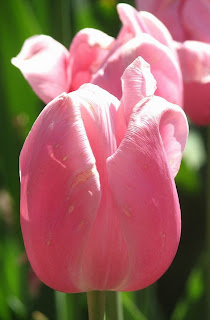слингобусы тюльпан