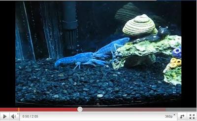 阿凡達藍龍蝦