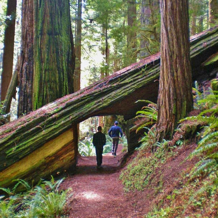 Landscaping With Redwood Trees : Seattle urban landscape prairie creek redwoods state park