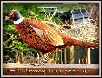 pheasant in garden