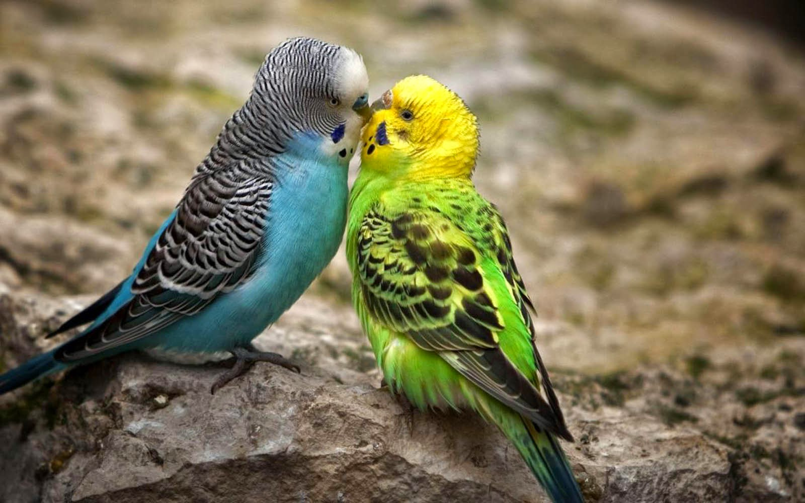 wallpaper backgrounds desktop hd | beautiful kissing birds photos