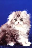 Cat Pet Wallpapers