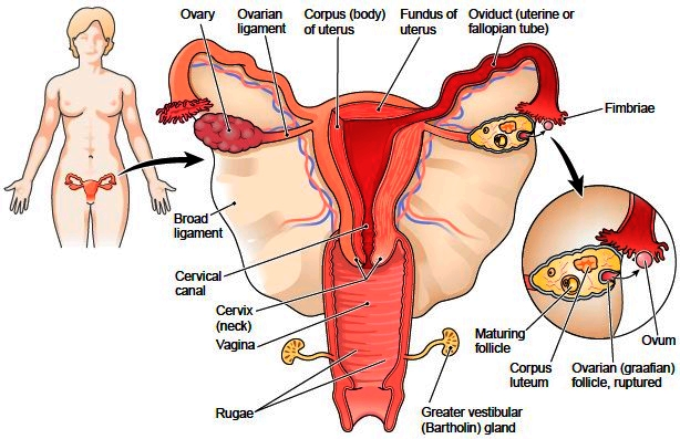 Uterus female reproductive system Layers : Endometrium |Genetic ...