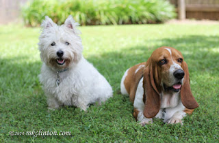Westie and Basset relaxing in the yard