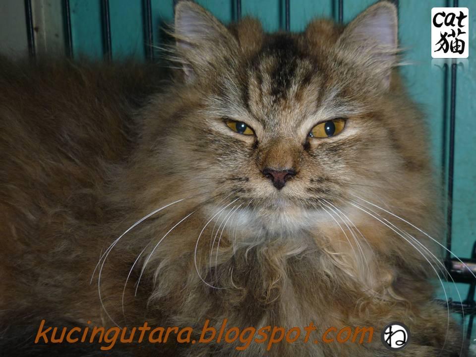 Kucing Utara Memilih Kucing Jantan Atau Betina