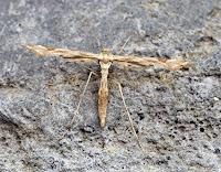 Latest New Micro Moth Species - Platyptilia gonodactyla