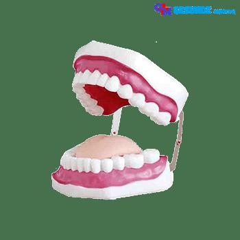 Torso Organ Tubuh Replika Gigi Manusia
