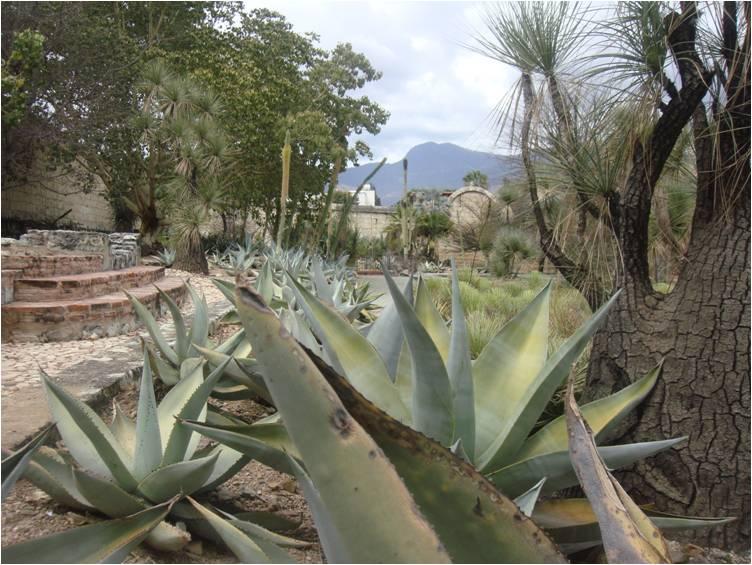 Viajando jard n etnobot nico de oaxaca for Jardin etnobotanico oaxaca