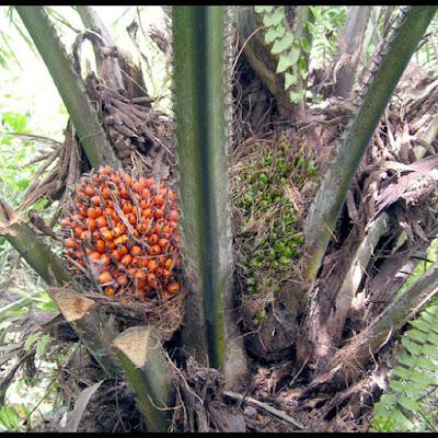 tanaman kelapa sawit sedia dituai