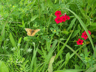 A Variegated Fritillary butterfly pollinating the wildflowers at White Rock Lake, Dallas, TX
