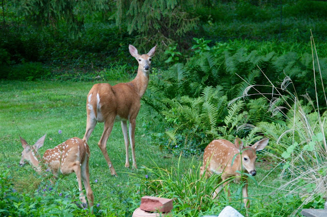 doe and two fawns in suburban back yard