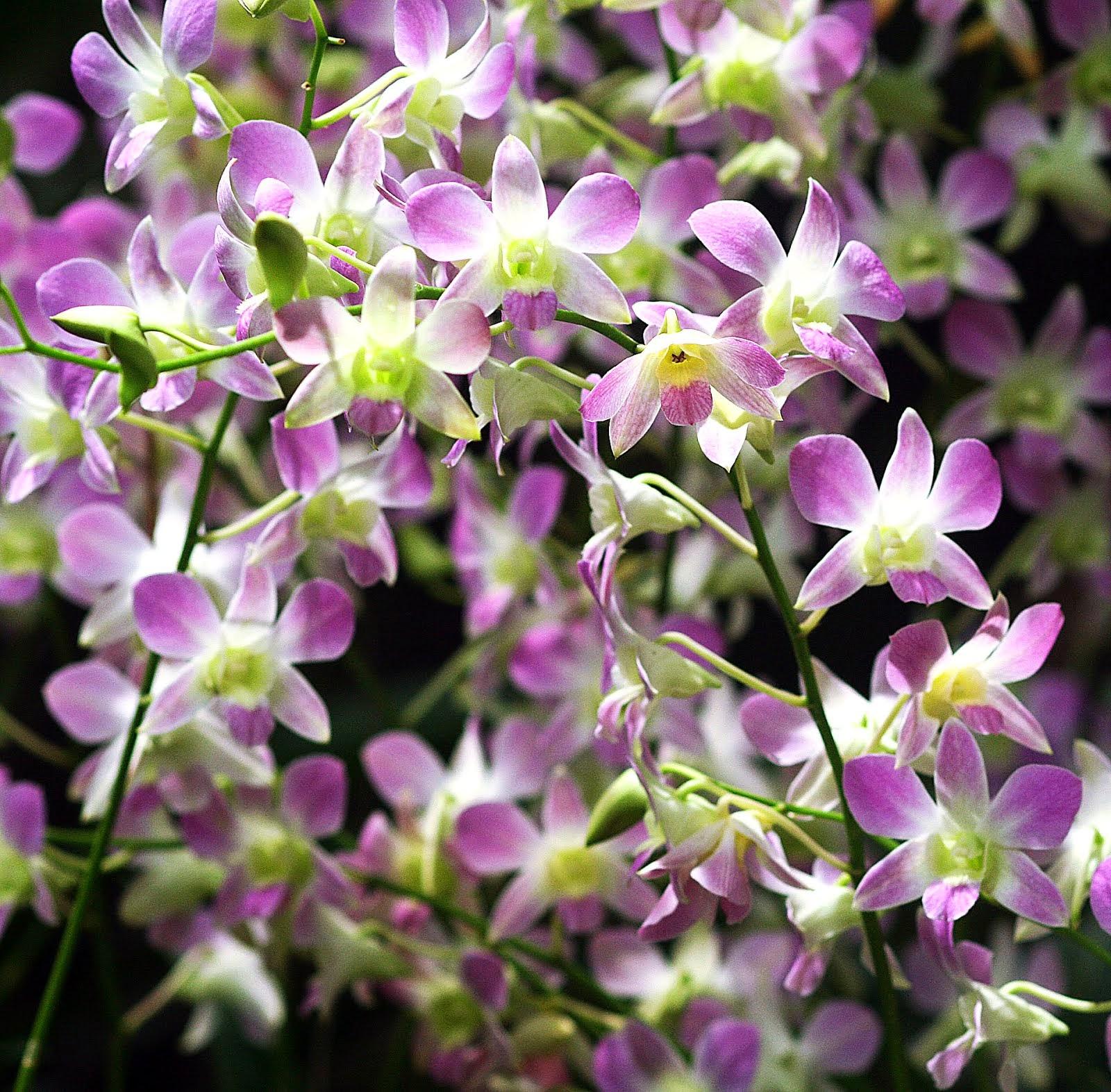 Dendrobium for sale