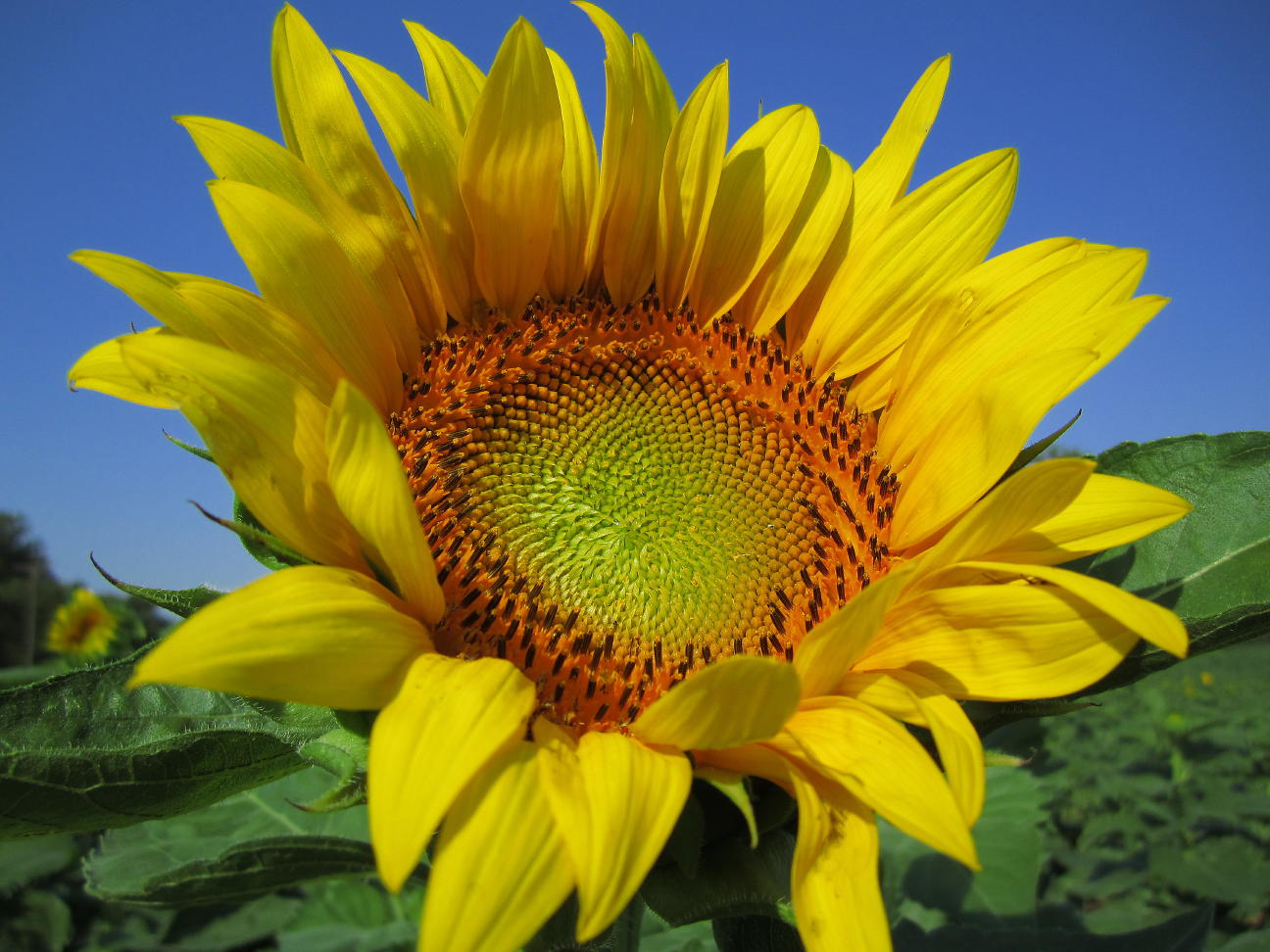 sunflower  good witches magickal flowers and herbs, Natural flower