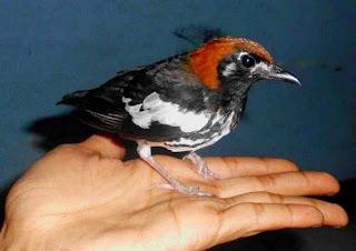 Burung jenis anis kembang