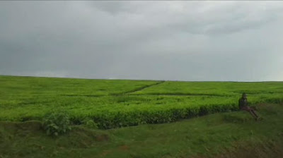 The tea fields of Kenya. Courtesy of Zach Caceres.
