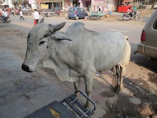 Корова Индии