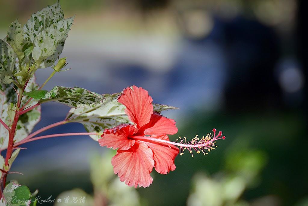 Hibiscus: rosa-sinensis