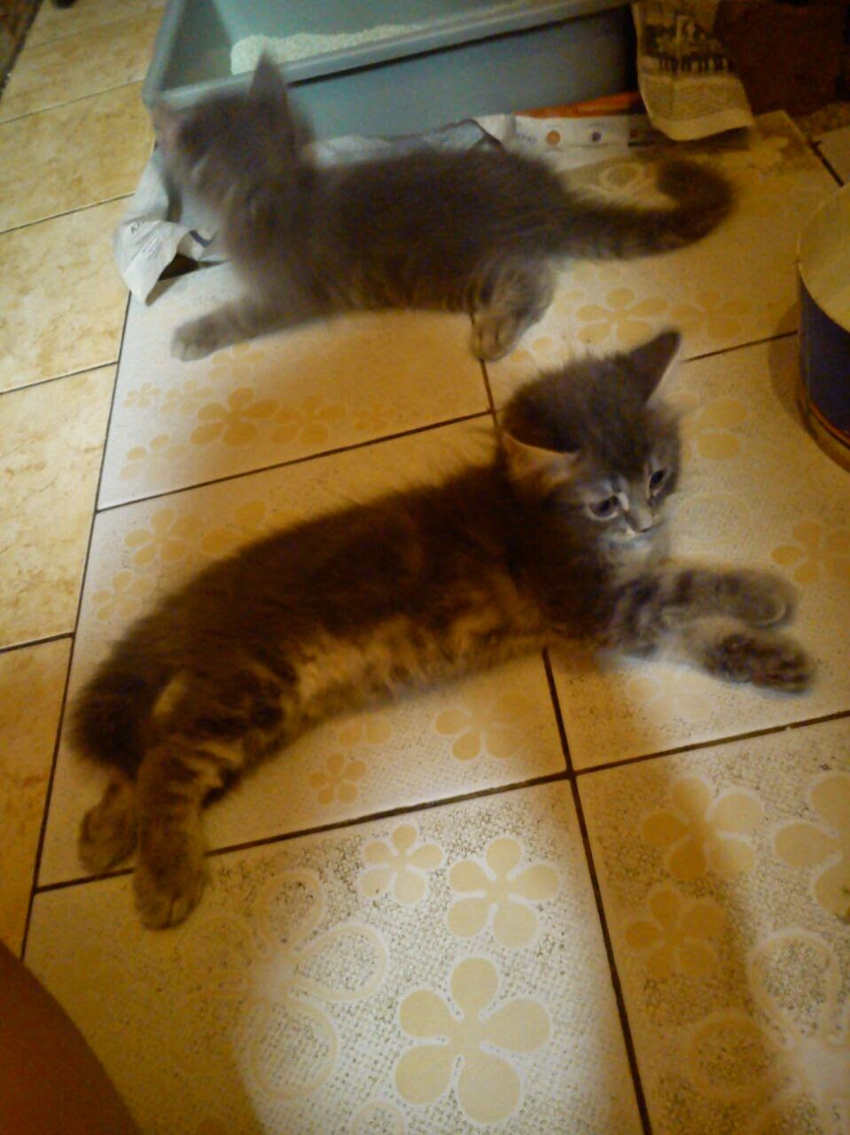 Kitten Persia Mix Cirebon Pecinta Kucing Cirebon