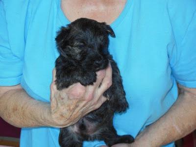 male pup #3 BLK-BRDL - Ann Behlau