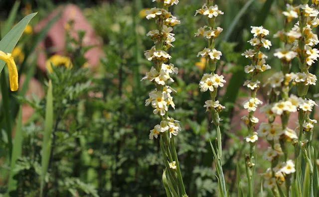 Sisyrinchium Striatum Flowers Pictures
