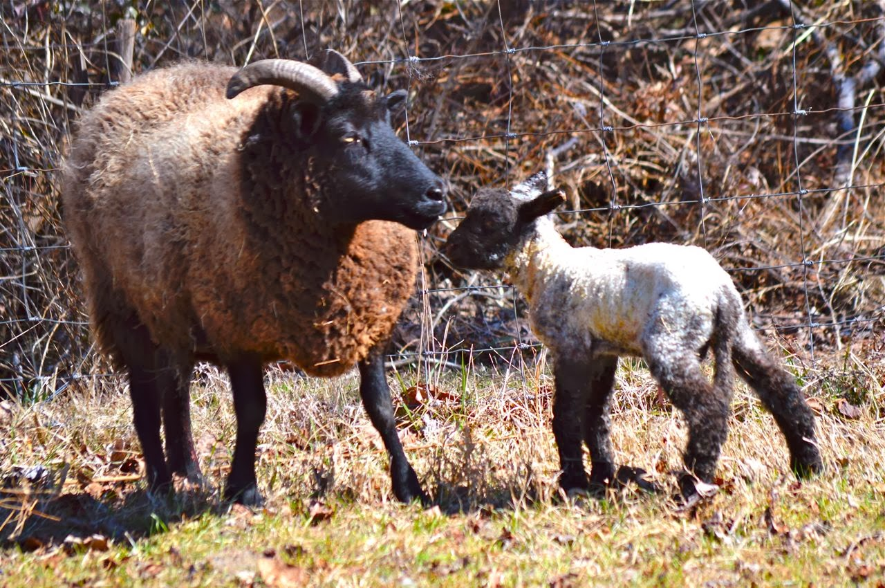 Walking in High Cotton- Lambing Help