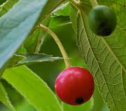 manfaat-buah-kersen
