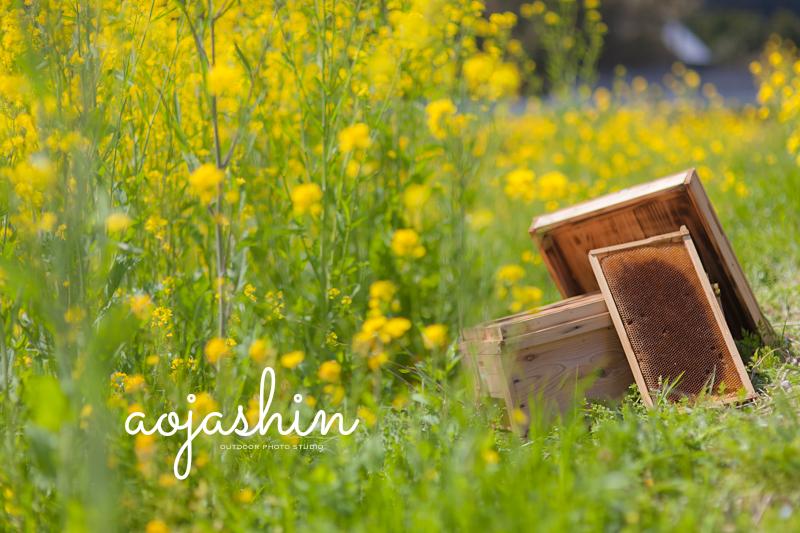 菜の花 養蜂