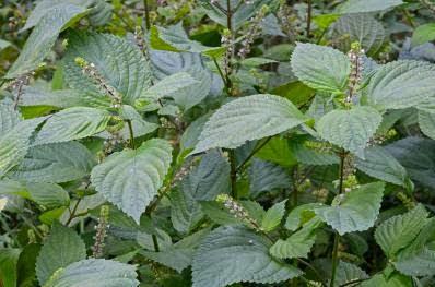 Perilla, Tanaman Herbal Untuk Melawan Alergi
