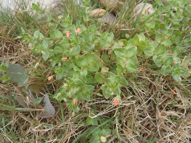 Scarlet Pimpernel weed http://muttnut.blogspot.com/