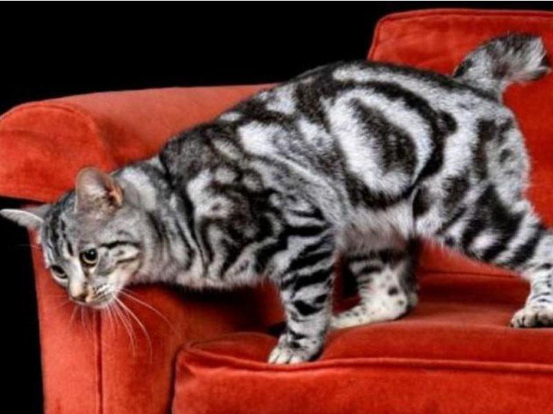 Mengenal Kucing Desert Lynx Kucing Gue