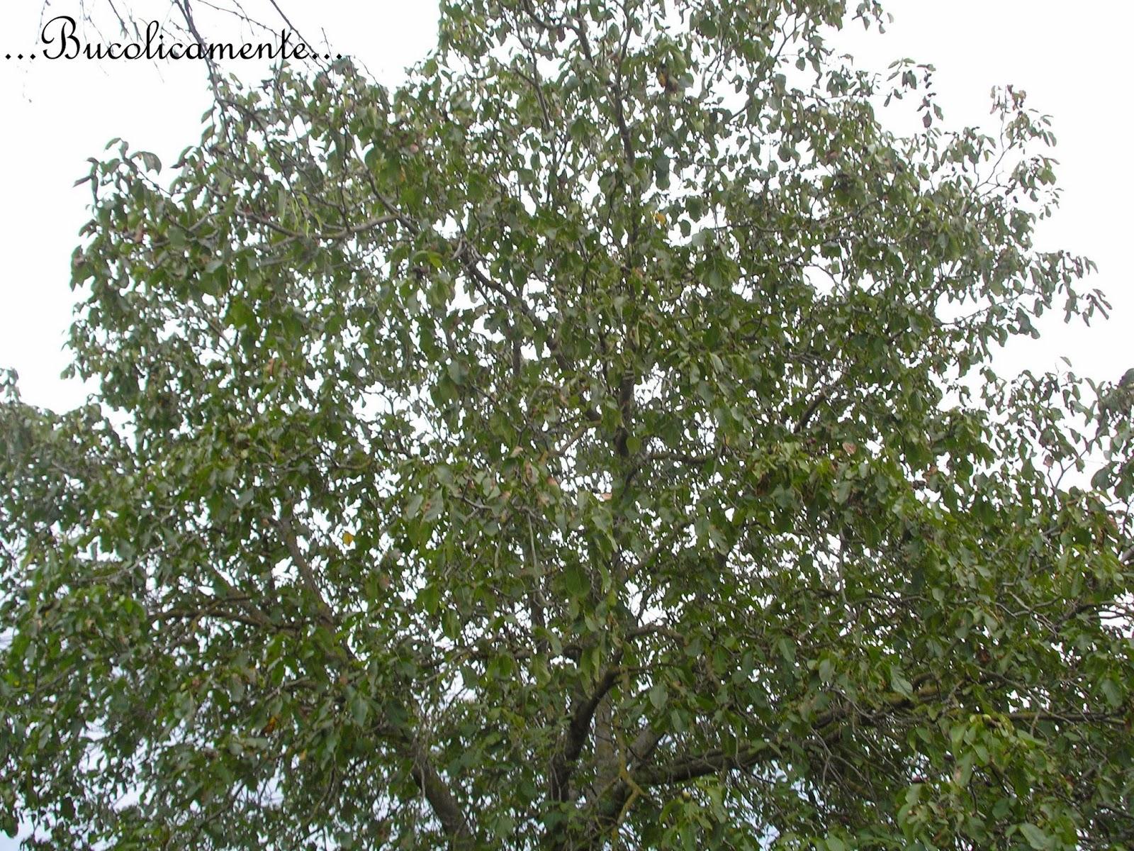 Piante Di Noce : Bucolicamente alberi da frutto il noce