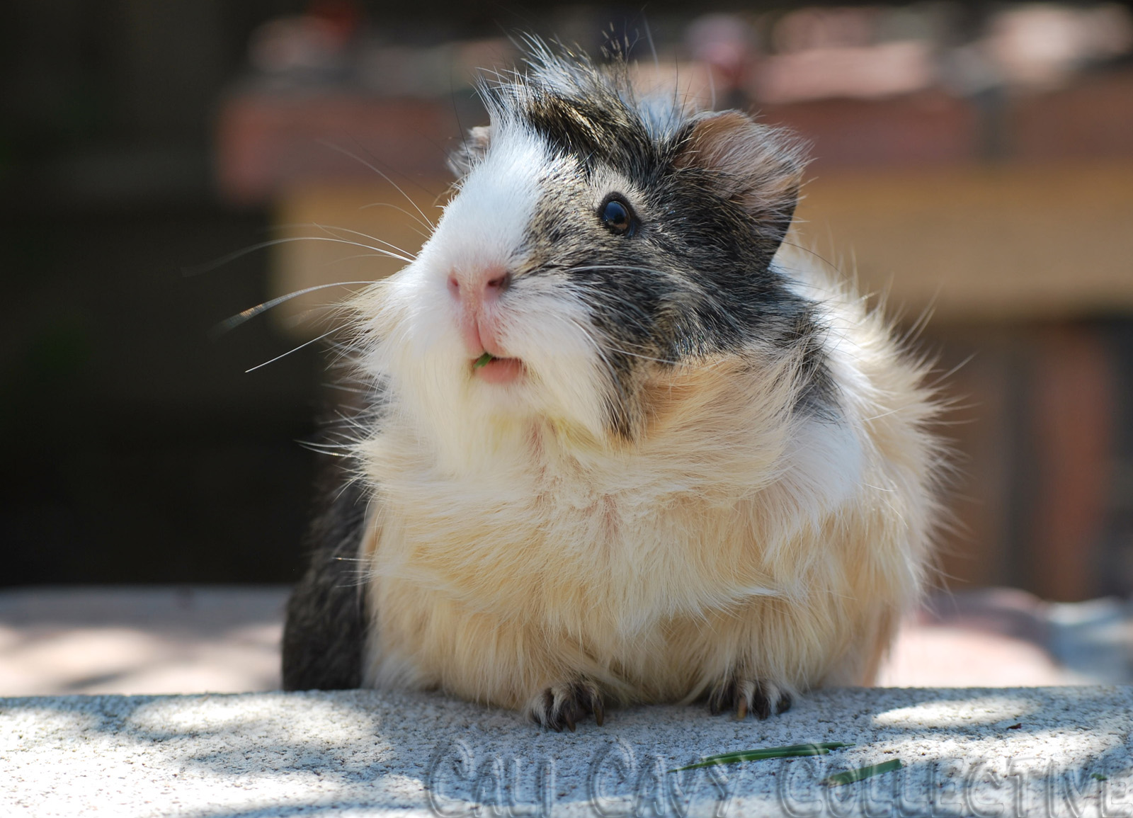 Cali cavy collective a about all things guinea pig