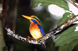 Rufous Kingfisher