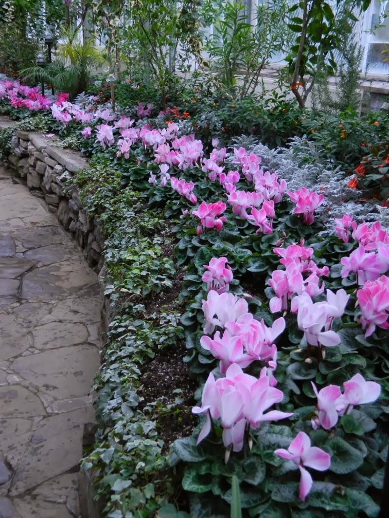 Allan Gardens Conservatory Christmas Flower Show 2013 pink cyclamen