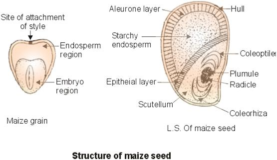 Maize Bean Structure And Function Of Maize And Bean