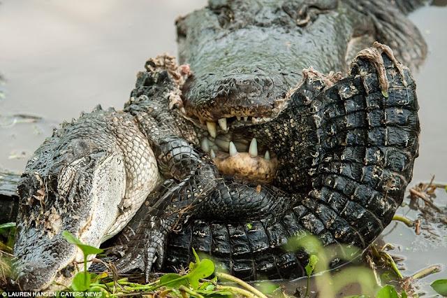 Fotos incríveis de um jacaré praticando canibalismo