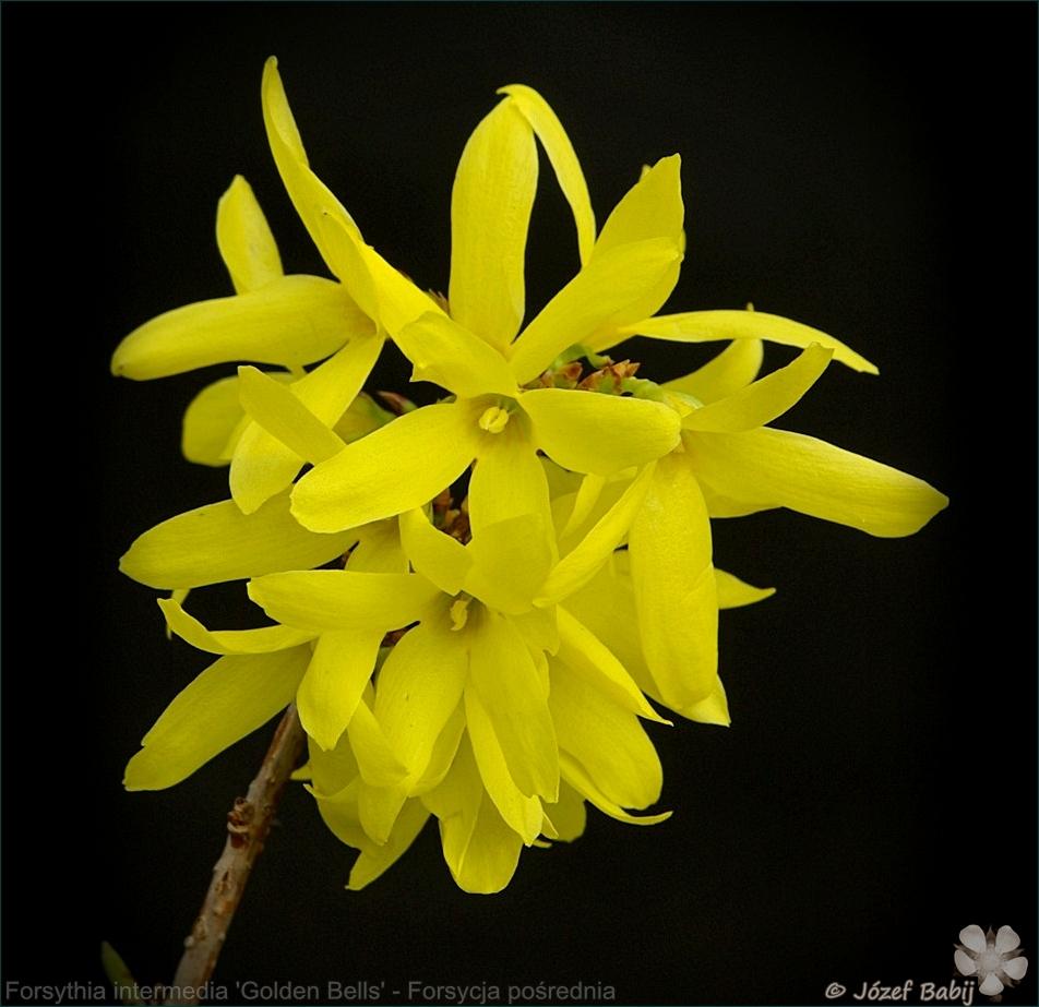 Forsythia intermedia 'Golden Bells' - Forsycja pośrednia